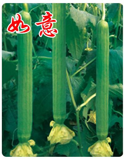 高抗病毒西葫芦